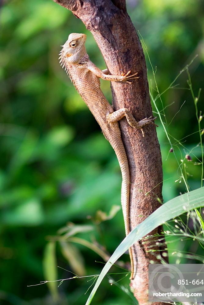 Iguana lizard on a tree in Udawalawe National Park, Sri Lanka, Asia