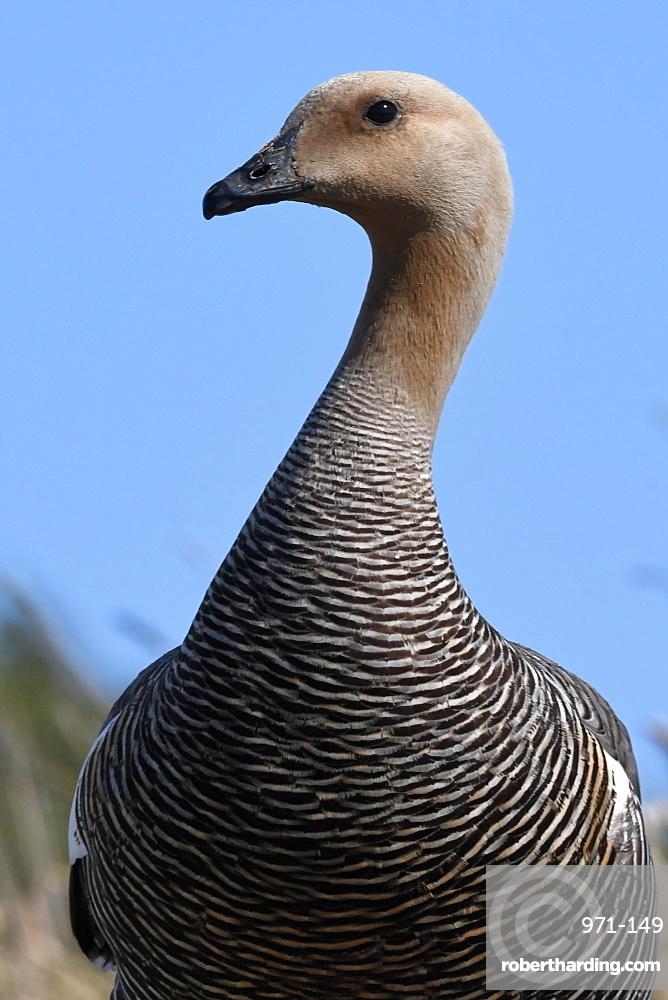 Portrait of a female upland goose (Chloephaga picta) against blue sky, Falkland Islands