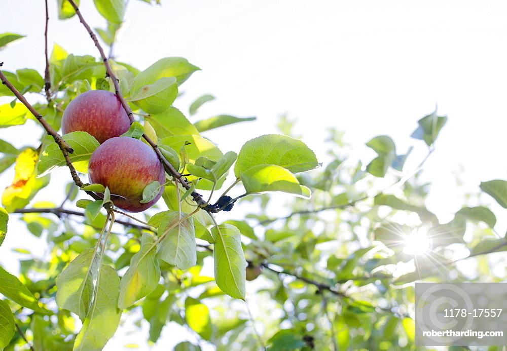 Apples on tree, USA, New York State, Warwick