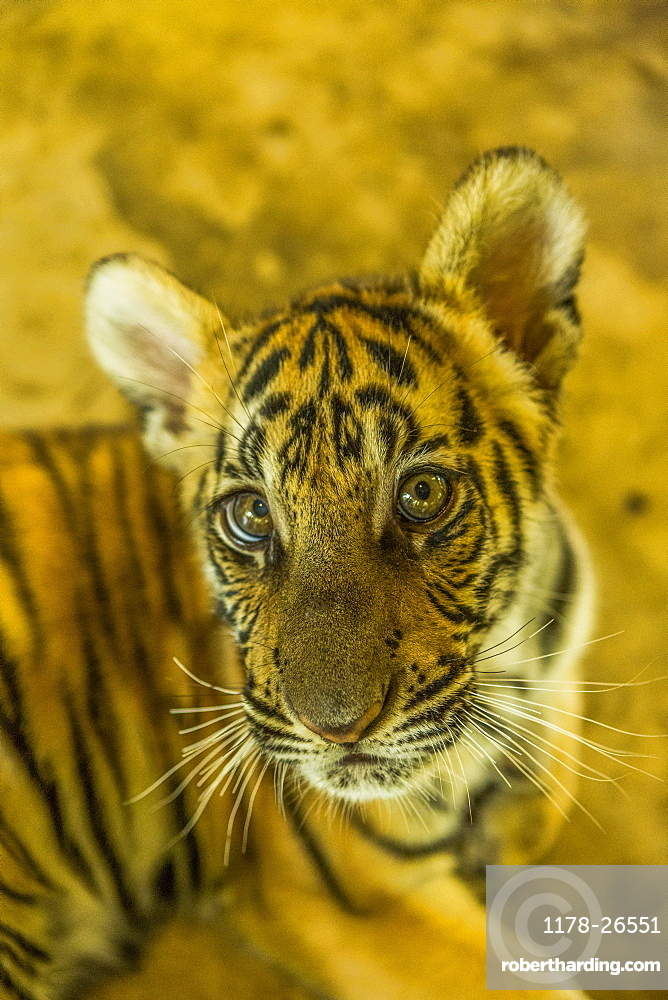 High angle view of tiger cub