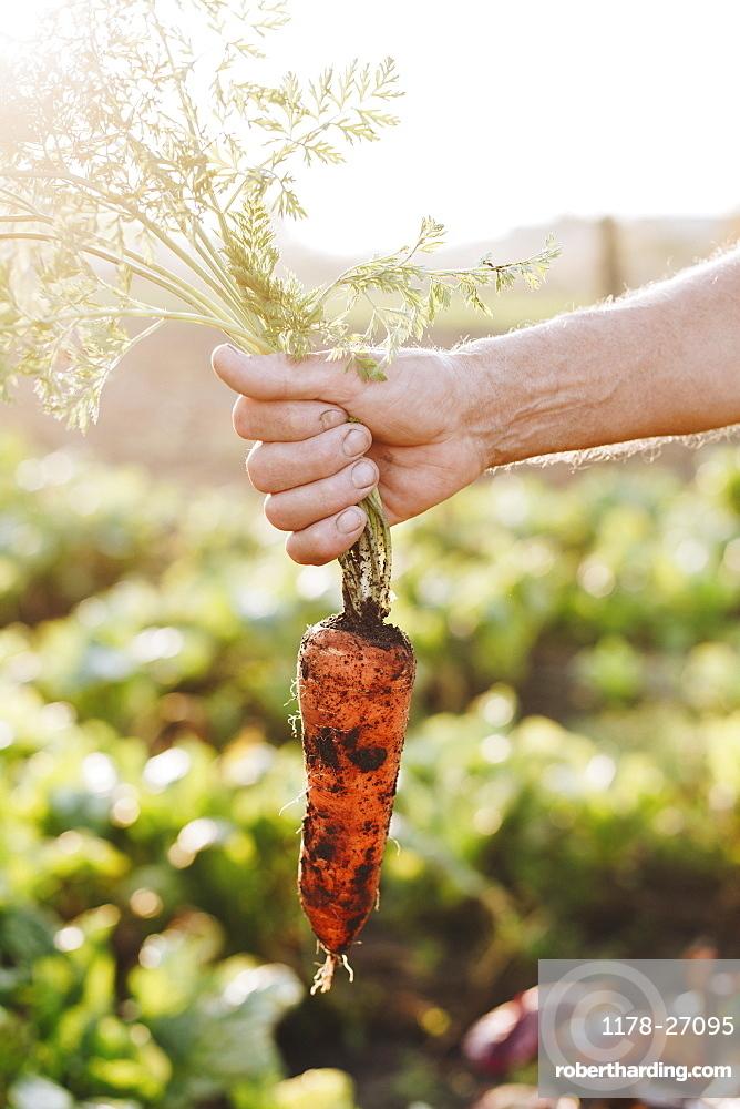 Hand of man holding carrot in vegetable garden