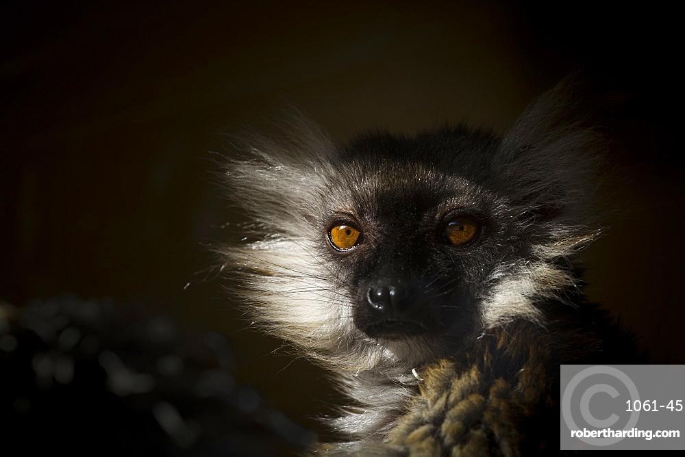 Black Lemur (Eulemur macaco), a vulnerable status adult female lemur from Madagascar, Africa, in France, Europe