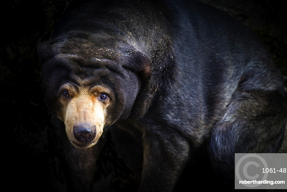 Malayan Sun Bear. aelarctos malayanus.. Vulnerable, rapidly declining (down 30%) due to deforestation, hunting and use in TCM.