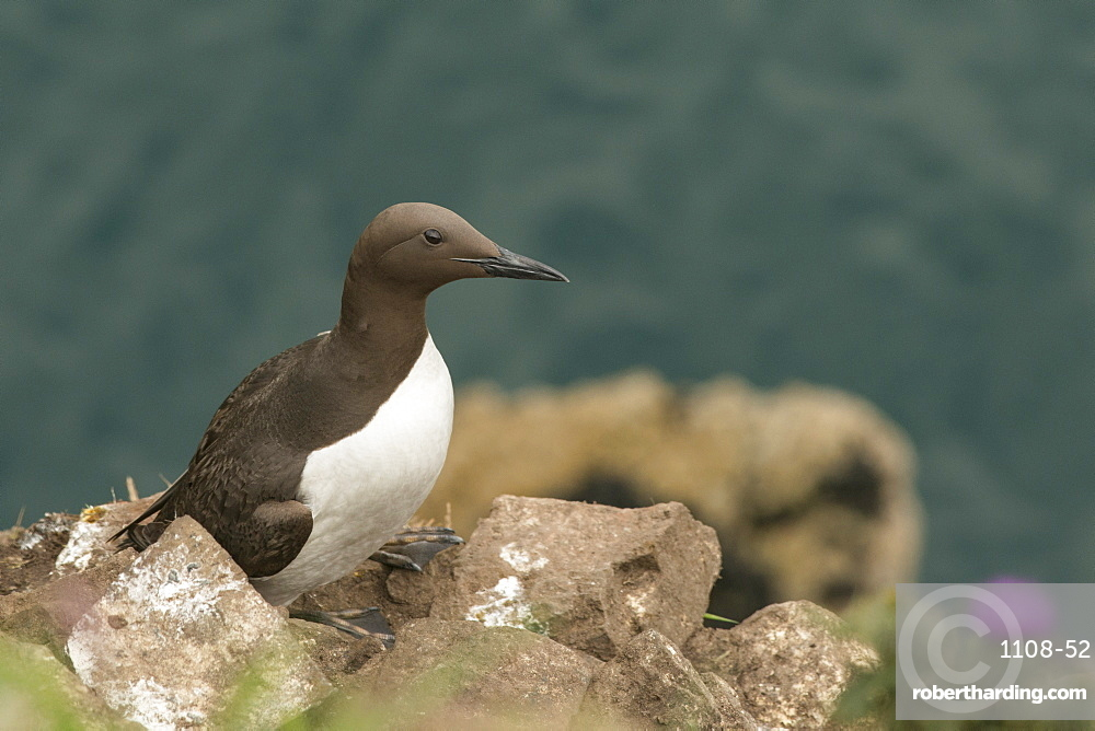 Guillemot on Skomer Island, Pembrokeshire, Wales, United Kingdom, Europe