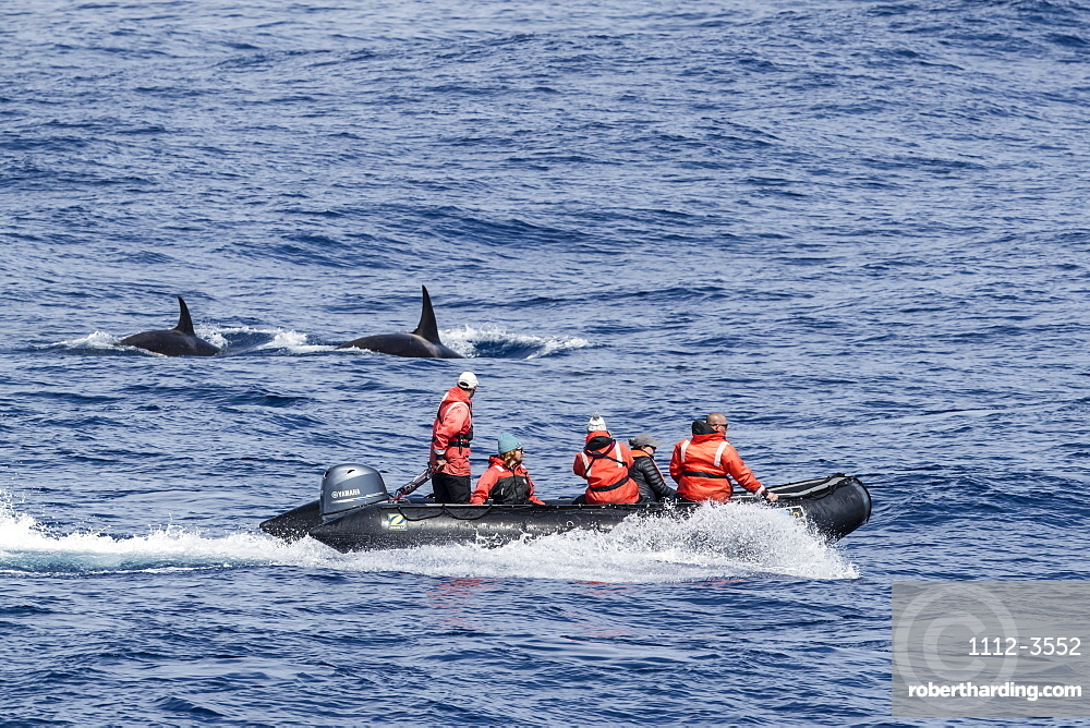 Zodiac near 'Type D' killer whales, Orcinus orca, in the Drake Passage, Antarctica.