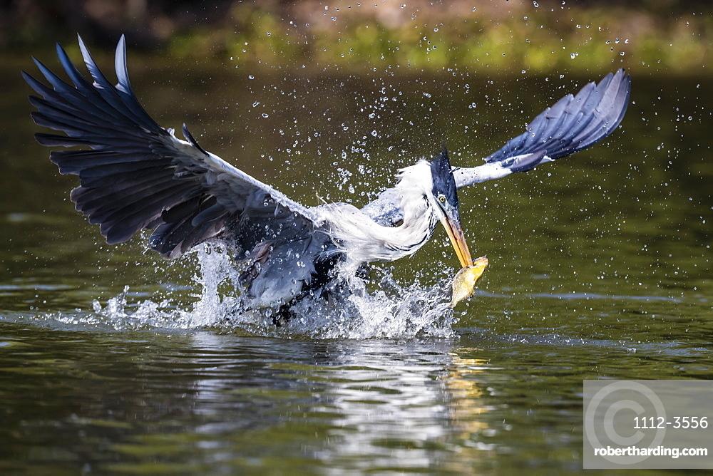 An adult cocoi heron (Ardea cocoi), fishing. Pousado Rio Claro, Mato Grosso, Brazil, South America