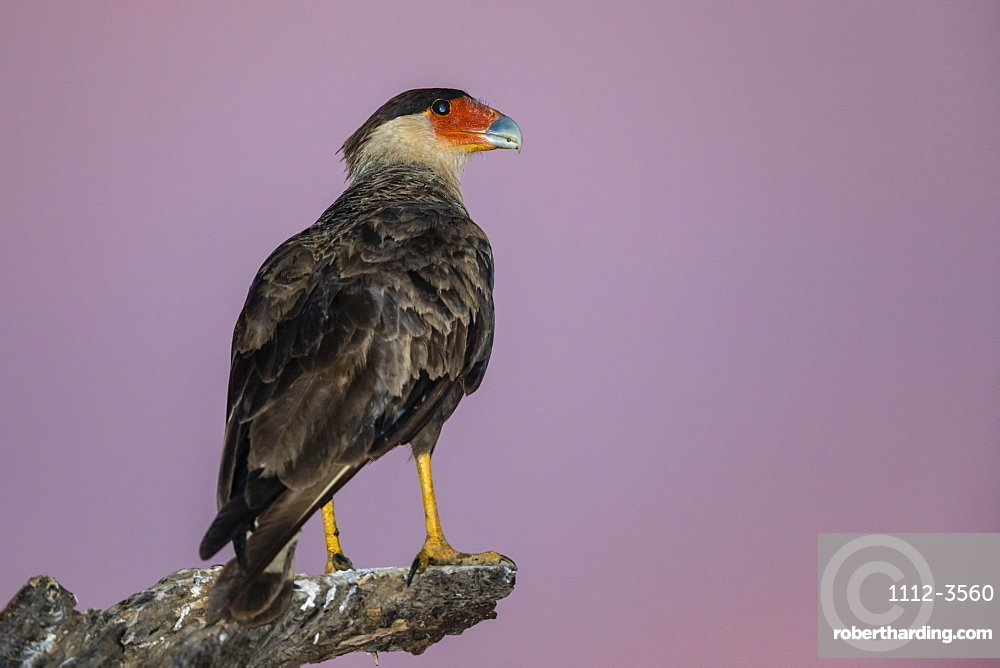 An adult southern crested caracara (Caracara plancus) at sunset, Mato Grosso, Brazil, South America