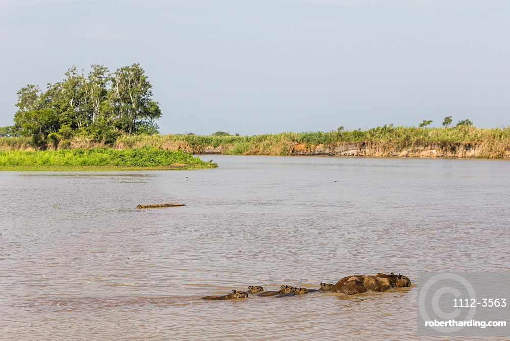 Adult capybara (Hydrochoerus hydrochaeris), with young, Porto Jofre, Mato Grosso, Pantanal, Brazil, South America