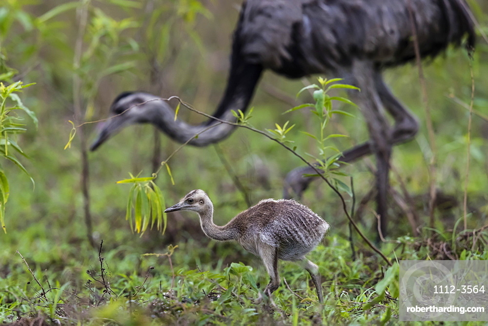An greater rhea chick, Rhea americana, Pousado Rio Claro, Mato Grosso, Brazil.
