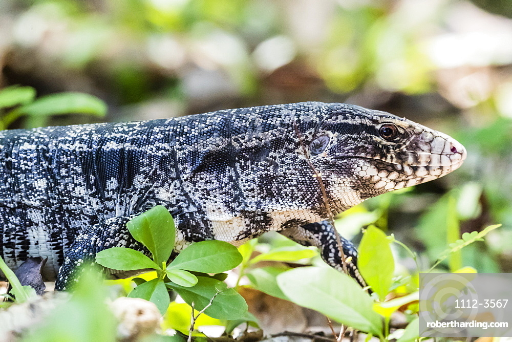 An adult Argentine black and white tegu (Salvator merianae), Pousado Alegre, Mato Grosso, Brazil, South America