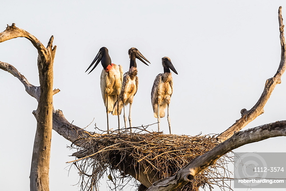 An adult jabiru (Jabiru mycteria) with two chicks on a nest at Pousado Rio Claro, Mato Grosso, Brazil, South America