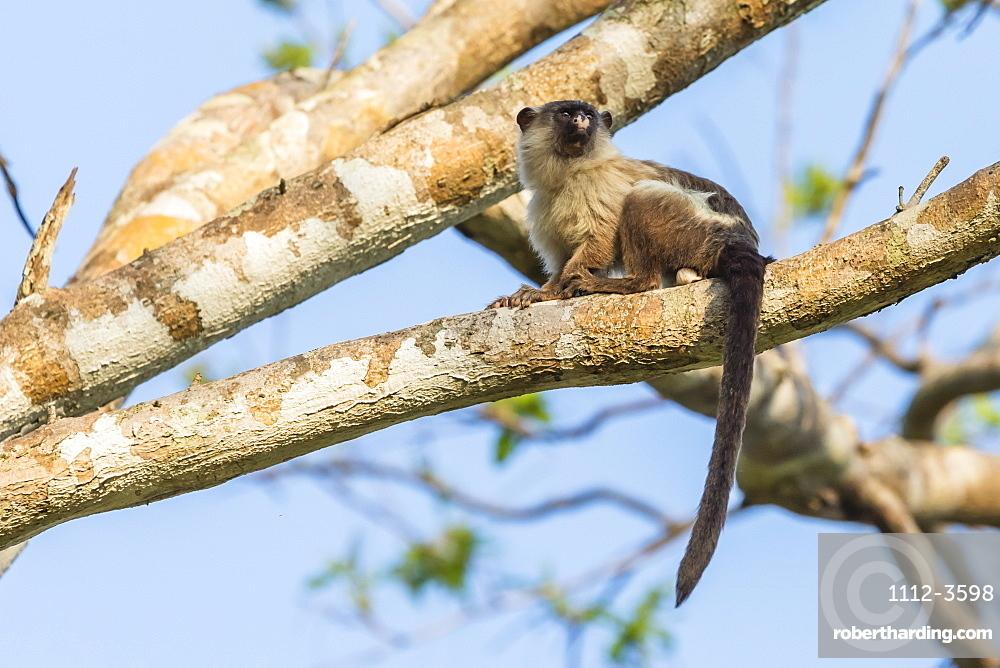 An adult black-tailed marmoset (Mico melanurus), Pousado Rio Claro, Mato Grasso, Brazil, South America