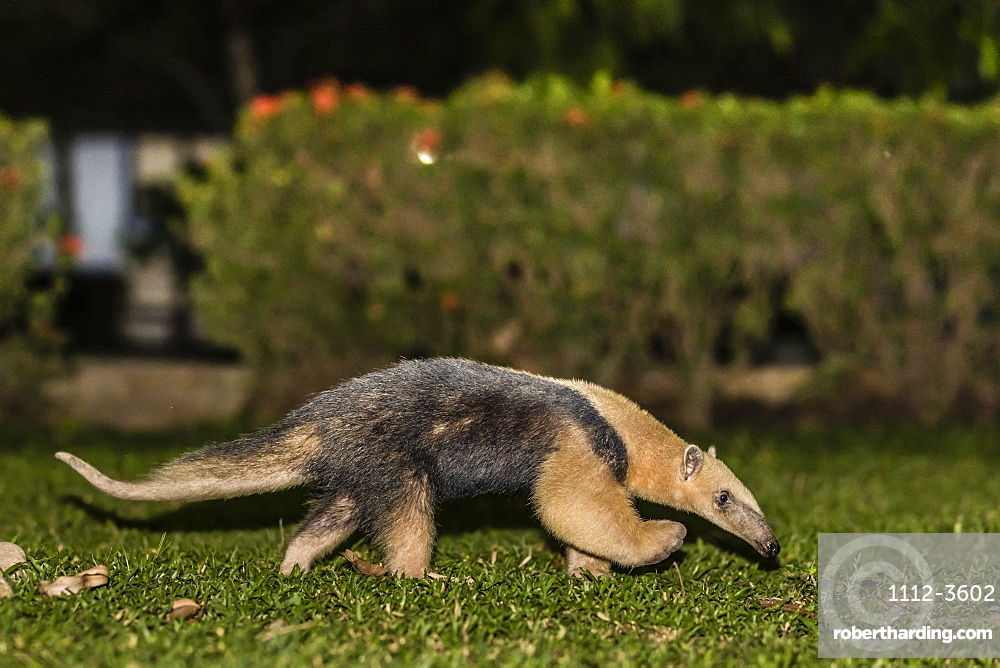 An adult southern tamandua (Tamandua tetradactyla), at night, Pousado Rio Claro, Brazil, South America