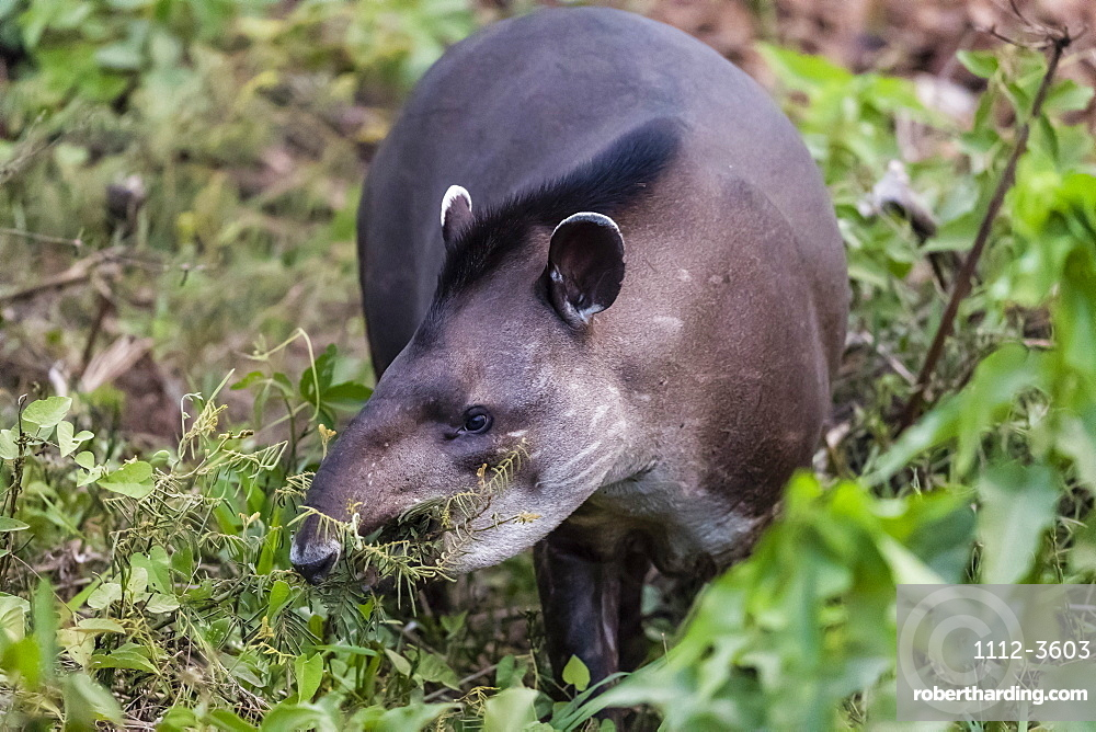 An adult South American tapir (Tapirus terrestris), Pousado Rio Claro, Mato Grosso, Brazil, South America