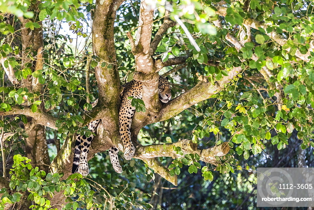 An adult jaguar, Panthera onca, sleeping in a tree on the Rio Tres Irmao, Mato Grosso, Brazil.