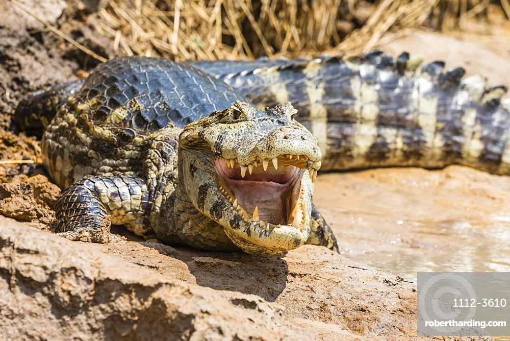 An adult yacare caiman (Caiman yacare) on the riverbank near Porto Jofre, Mato Grosso, Brazil, South America
