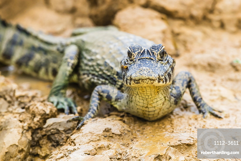 A young yacare caiman (Caiman yacare) on the riverbank near Porto Jofre, Mato Grosso, Brazil, South America