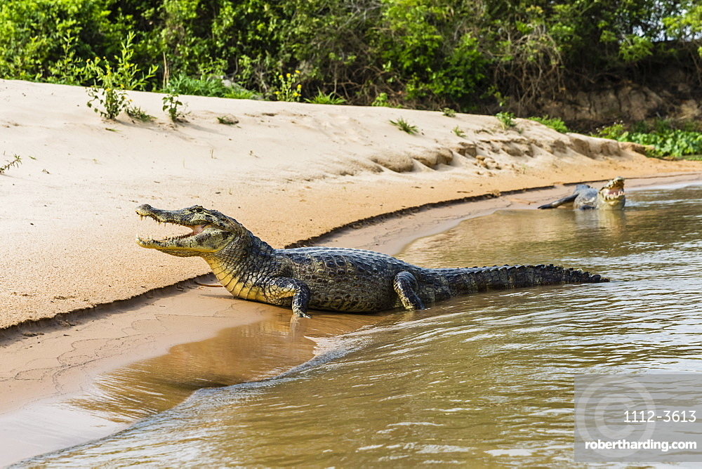 Two adult yacare caimans (Caiman yacare), on the riverbank near Porto Jofre, Brazil, South America