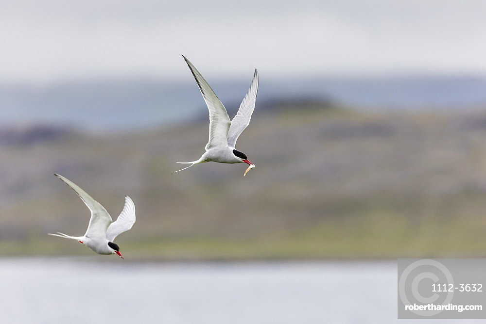 Adult Arctic terns (Sterna paradisaea), returning to the nest with fish, Vigur Island, Iceland, Polar Regions