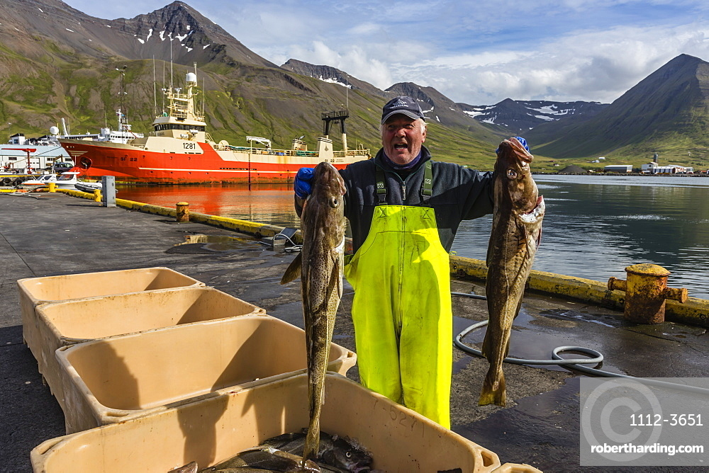 Sorting fresh caught fish in Siglufjorour, Siglufjordur, off the north coast of Iceland, Polar Regions