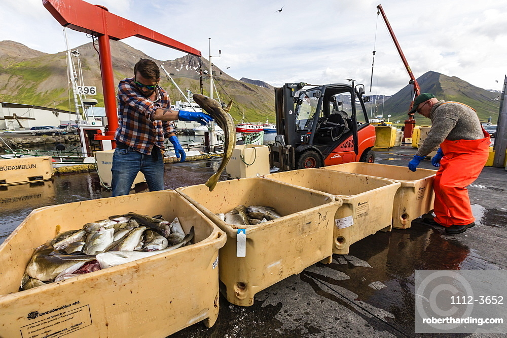 Sorting fresh caught fish in Siglufjörður, Siglufjordur, off the north coast of Iceland.