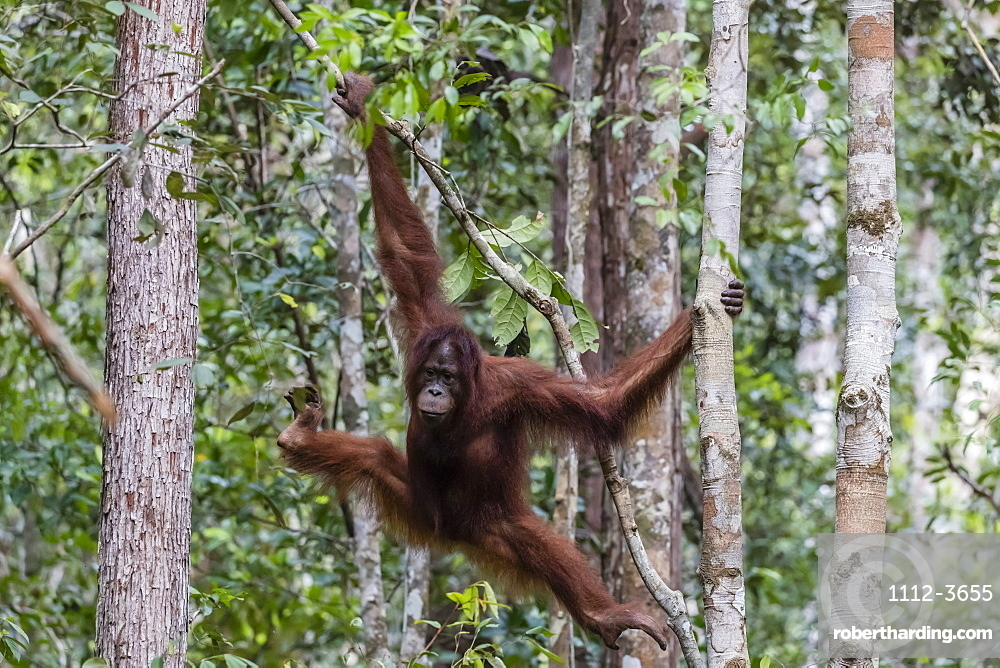 Young Bornean orangutan, Pongo pygmaeus, at Camp Leakey, Borneo, Indonesia.