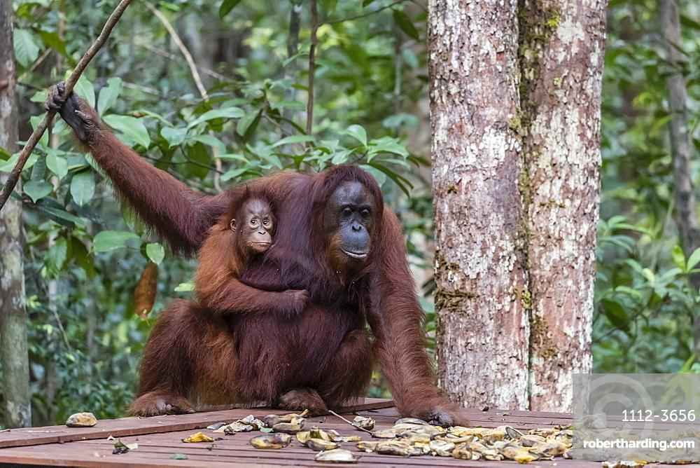 Mother and baby Bornean orangutans, Pongo pygmaeus, Camp Leakey feeding platform, Borneo, Indonesia.