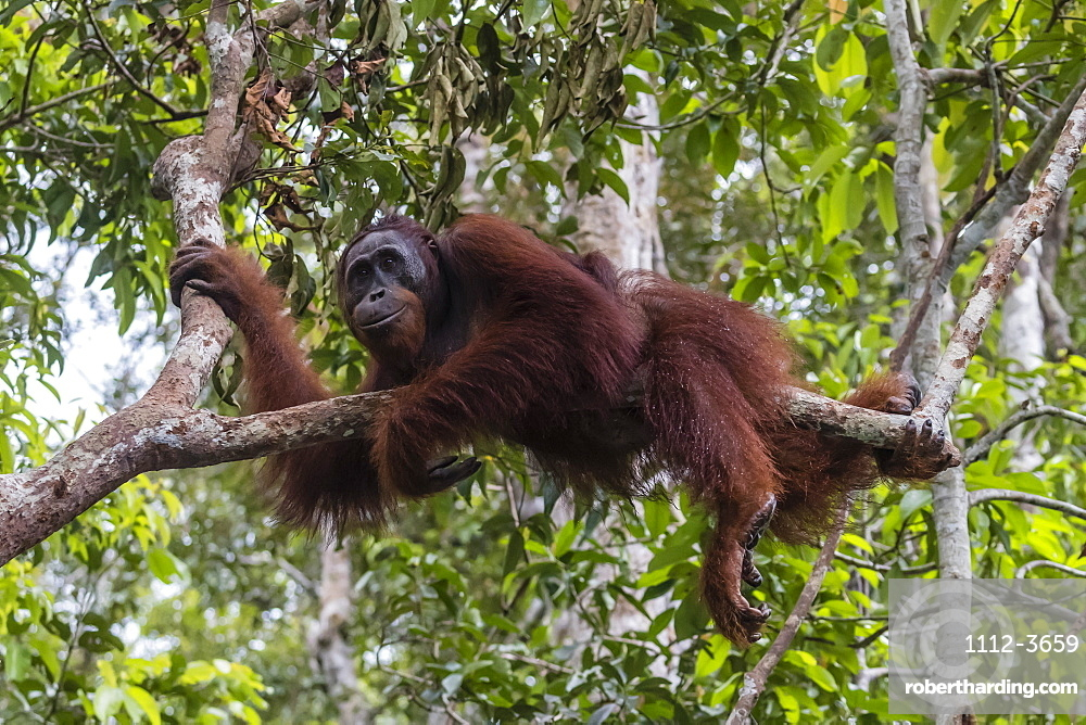 Male Bornean orangutan, Pongo pygmaeus, at Camp Leakey dock, Borneo, Indonesia.
