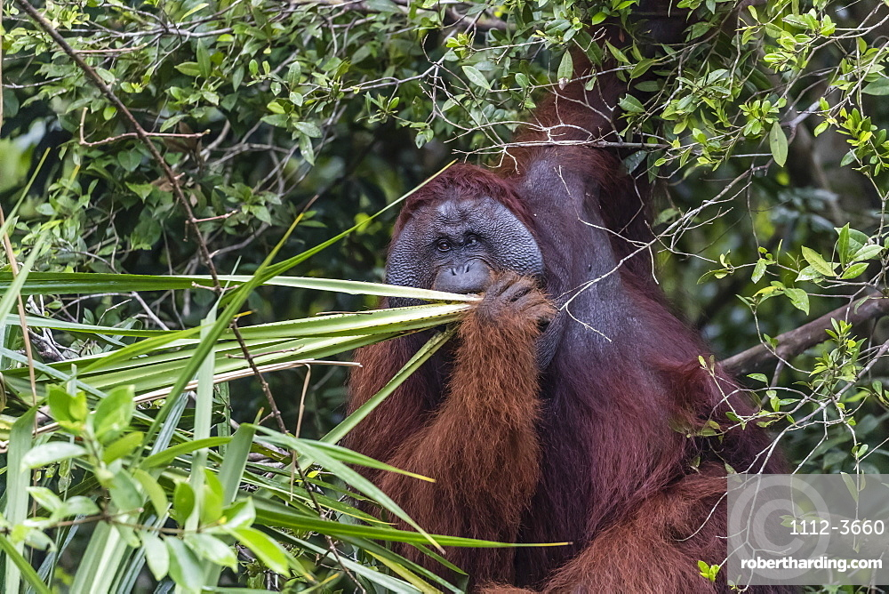 Wild male Bornean orangutan (Pongo pygmaeus), on the Sekonyer River, Borneo, Indonesia, Southeast Asia, Asia