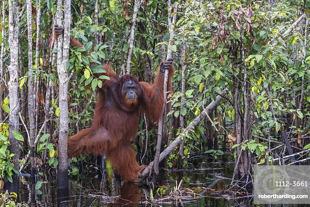 Wild male Bornean orangutan, Pongo pygmaeus, on the Buluh Kecil River, Borneo, Indonesia.