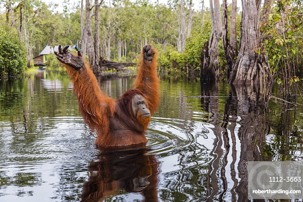 Wild male Bornean orangutan (Pongo pygmaeus), on the Buluh Kecil River, Borneo, Indonesia, Southeast Asia, Asia