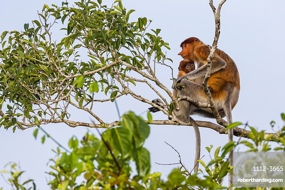Female proboscis monkey (Nasalis larvatus) with baby, Tanjung Puting National Park, Kalimantan, Borneo, Indonesia, Southeast Asia, Asia