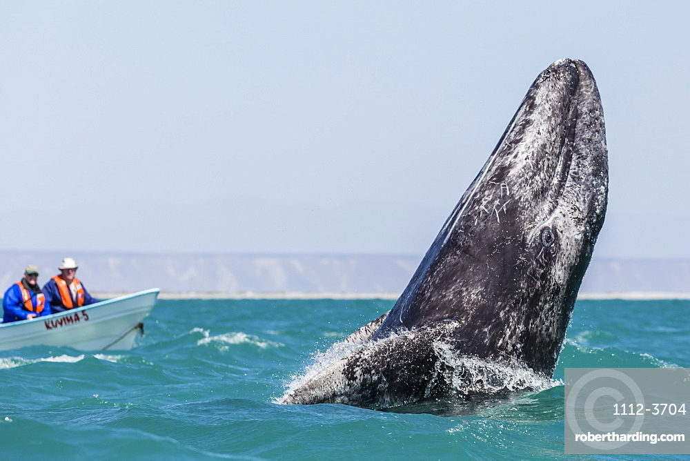 California gray whale calf (Eschritius robustus), breaching in San Ignacio Lagoon, Baja California Sur, Mexico. North America