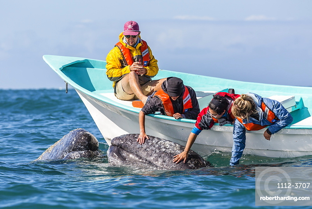 California gray whale calf (Eschritius robustus), with tourists in San Ignacio Lagoon, Baja California Sur, Mexico, North America