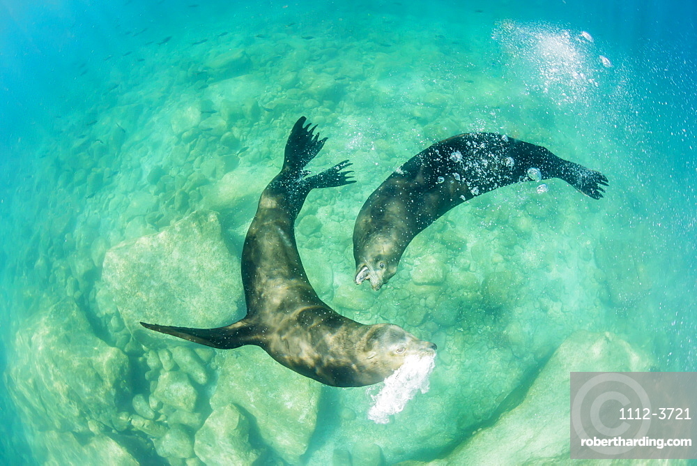 California sea lion bulls (Zalophus californianus) underwater, Los Islotes, Baja California Sur, Mexico, North America