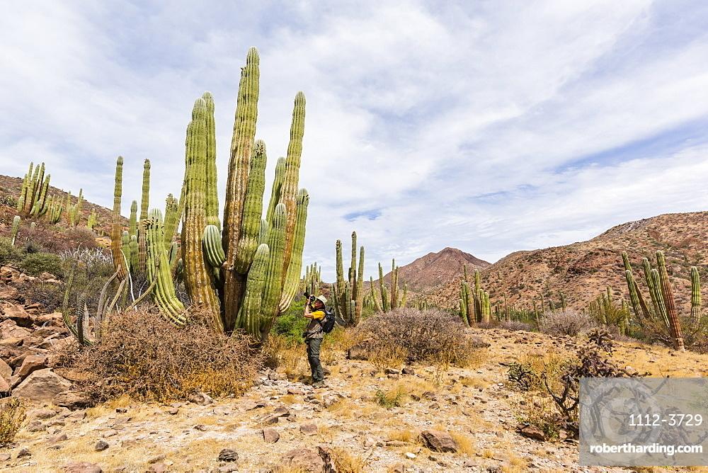 Photographer with Mexican giant cardon, Pachycereus pringlei, Isla San Esteban, Baja California, Mexico.