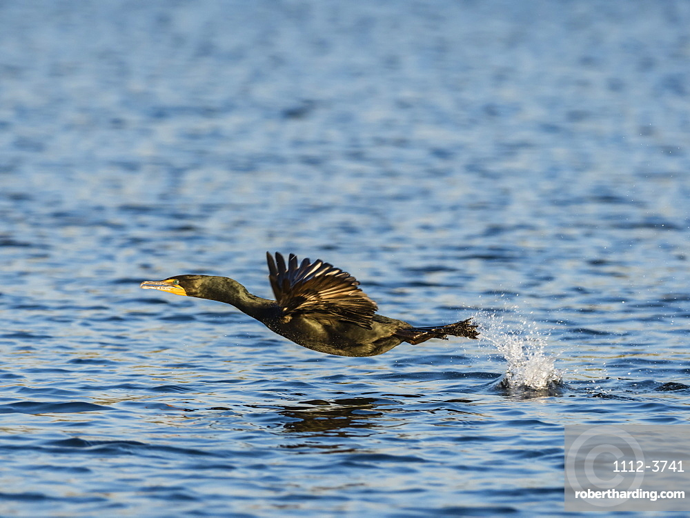 Adult double-crested cormorant, Phalacrocorax auritus, in flight on the Homosassa River, Florida, USA.