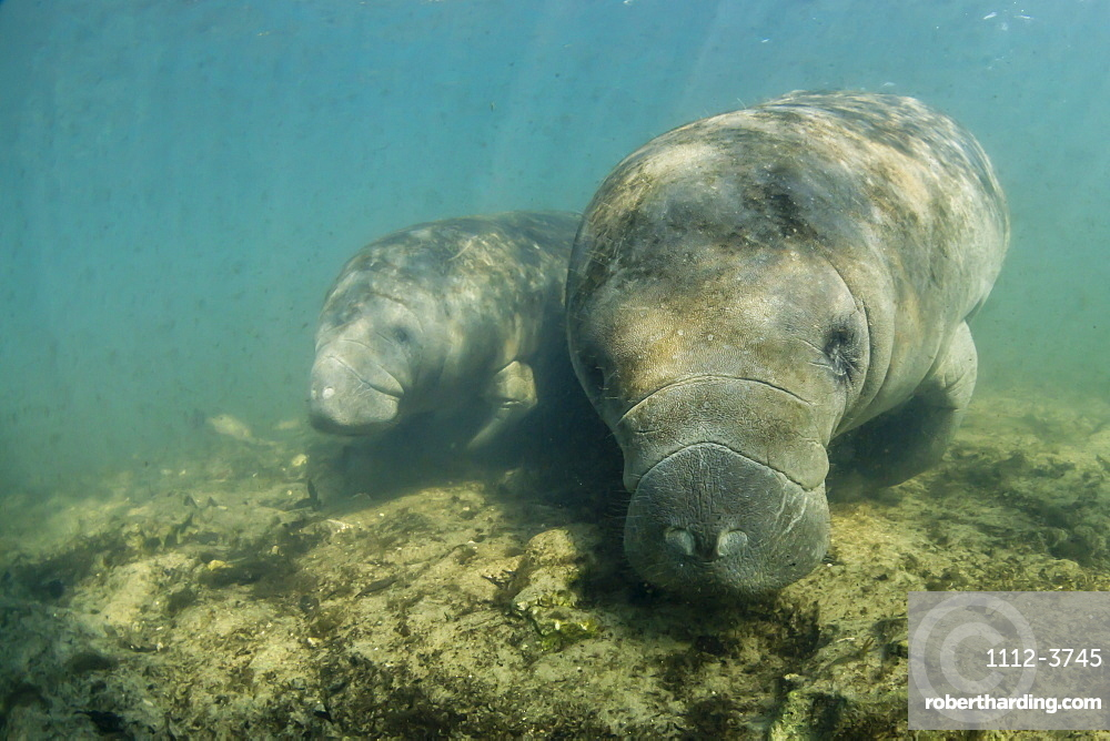 West Indian manatees, Trichechus manatus, underwater in Homosassa Springs, Florida, USA.