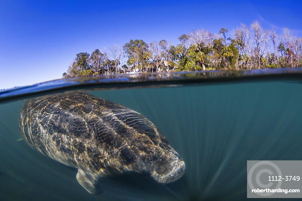 West Indian manatee, Trichechus manatus, half above and half below, Homosassa Springs, Florida, USA.