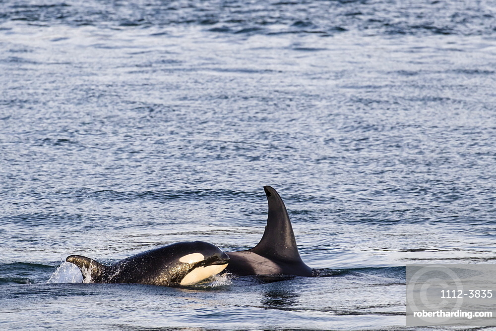 Mother and calf killer whale (Orcinus orca) surfacing near Point Adolphus, Icy Strait, Southeast Alaska, United States of America, North America