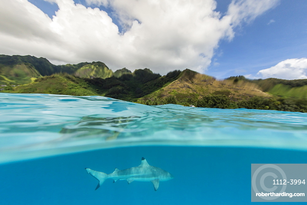 Blacktip reef shark (Carcharhinus melanopterus) cruising the shallow waters of Moorea, Society Islands, French Polynesia, South Pacific, Pacific