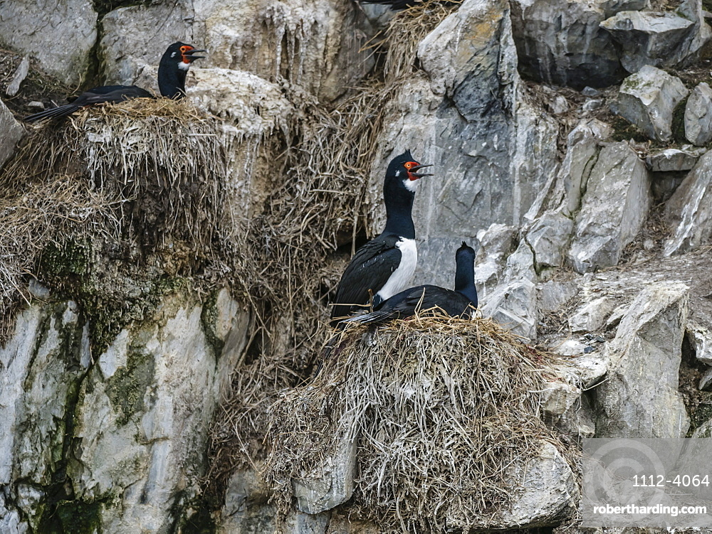 Nesting rock shags, Phalacrocorax magellanicus, on small islet in the Beagle Channel, Ushuaia, Argentina.