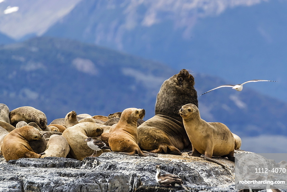 South American sea lions, Otaria flavescens, hauled out on a small islet in the Beagle Channel, Ushuaia, Argentina.