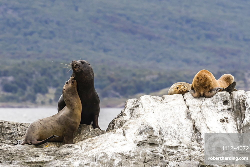 South American sea lion bull, Otaria flavescens, attempting to mate on a small islet in the Beagle Channel, Argentina.