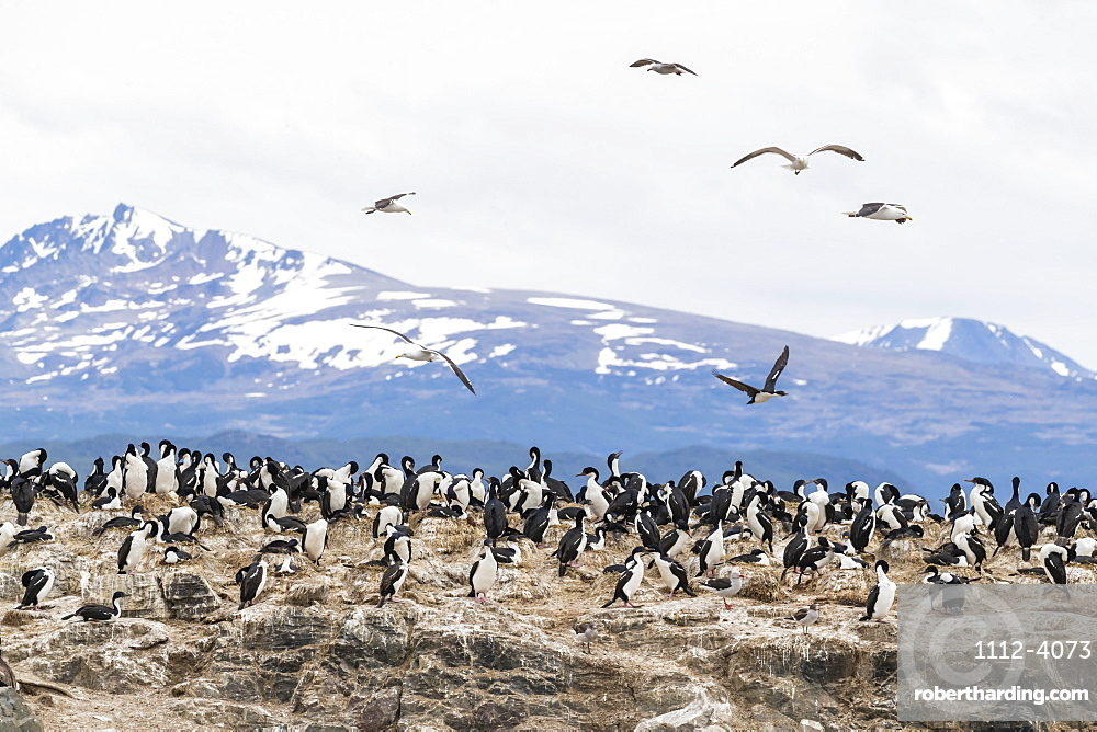 Imperial shag, Phalacrocorax atriceps, breeding site at small islet in the Beagle Channel, Ushuaia, Argentina.