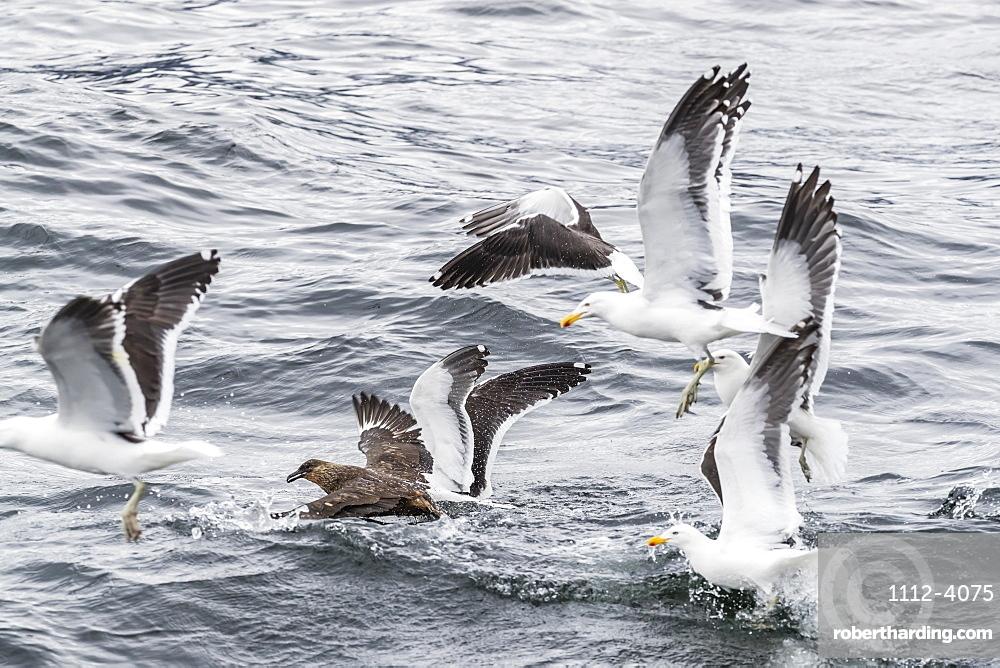 Adult Chilean skua, Stercorarius chilensis, harassing kelp gulls to force regurgitation, Beagle Channel, Argentina.