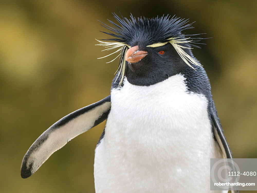 An adult Southern rockhopper penguin, Eudyptes chrysocome, at rookery on New Island, Falkland Islands.