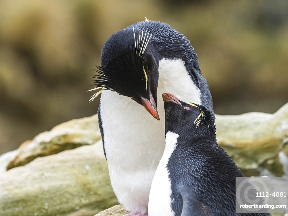 An adult Southern rockhopper penguin pair, Eudyptes chrysocome, at rookery on New Island, Falkland Islands.