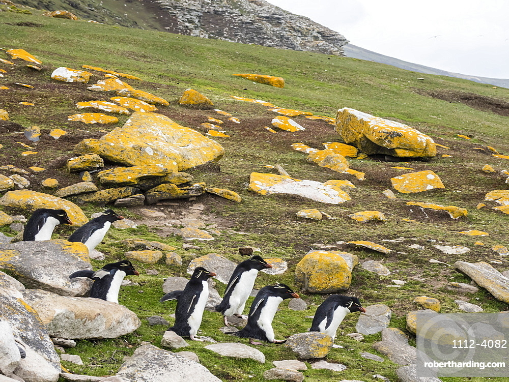 Southern rockhopper penguins, Eudyptes chrysocome, at rookery on Saunders Island, Falkland Islands.
