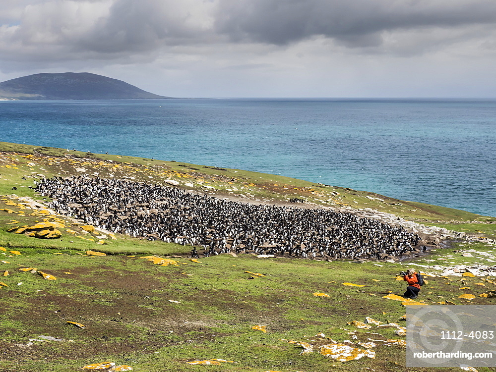 Southern rockhopper penguins, Eudyptes chrysocome, with photographer on Saunders Island, Falkland Islands.